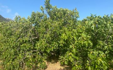 Figs are being dried 2021.